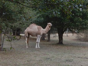 Camels on the grounds of Beauvoir