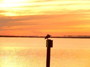 Gulf Coast national Sea Shore Pelican Roost Jan 2015