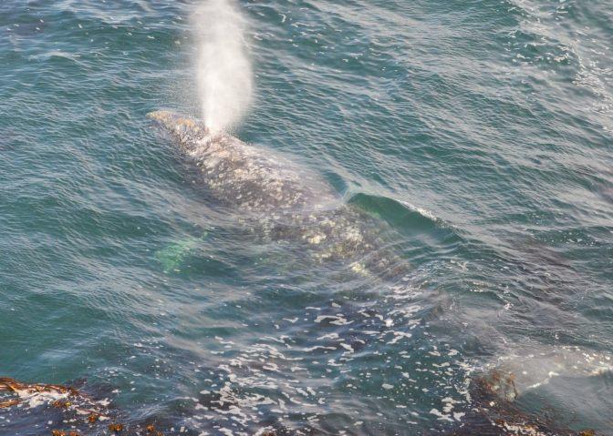 California Gray Whale