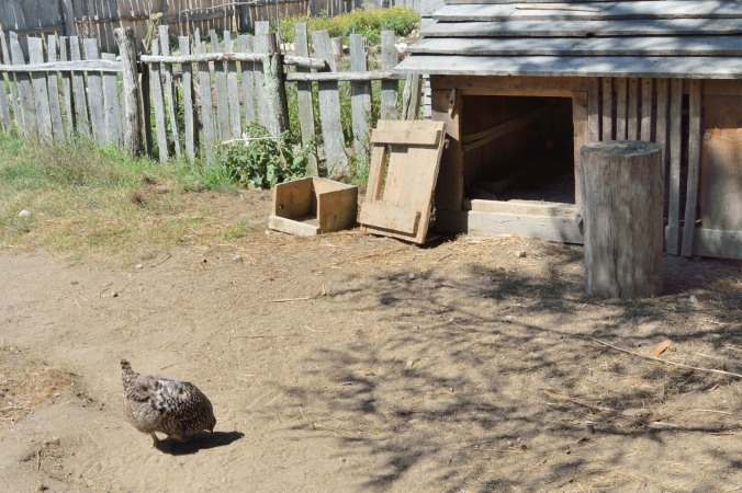 Plymouth Rock Hen. W had 3!